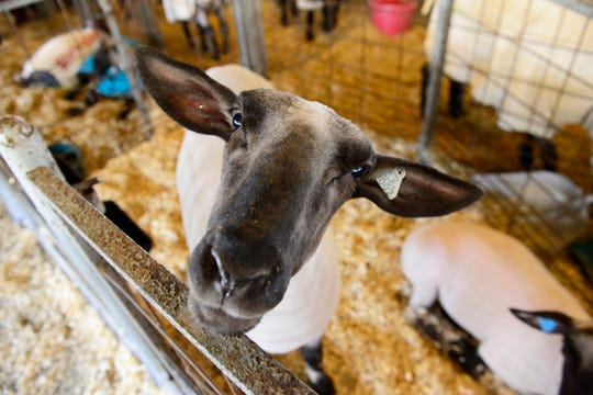 Livestock will play a big part in the Sandusky County Fair as kids from local school enter their animals into judging competitions.
