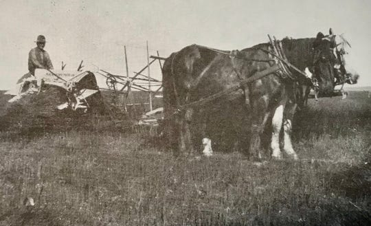 Ira Ritenour with his binder and horses on his farm near Pendroy. The machine cut and clumped wheat, which was then taken to a threshing machine.