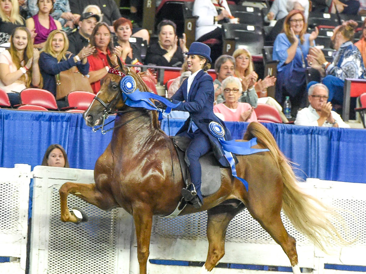 5 GAITED AMATEUR STALLION/GELDING div 2 winner 1 