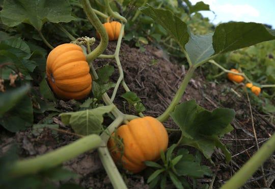 Pumpkins grow at Urvara Farms near Madison.