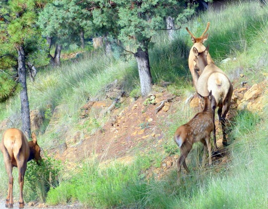 The calf trails behind the elk cows as they head up the mountain.