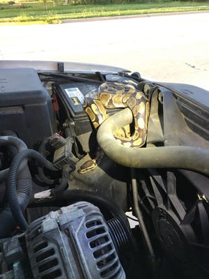 A ball python was found Wednesday evening under the hood of an SUV in Omro.