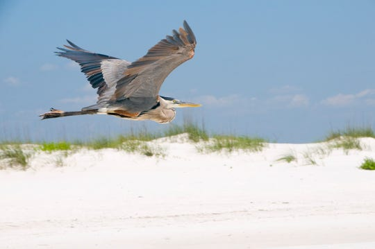 The bird watching picks up on Pensacola Beach in the fall each year.