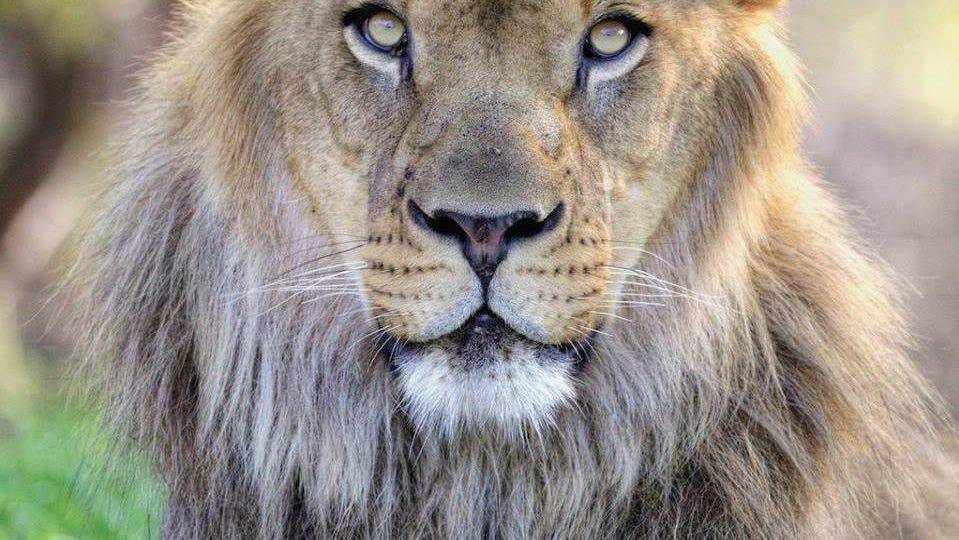 Kitambi, Phoenix Zoo's beloved African lion, dies