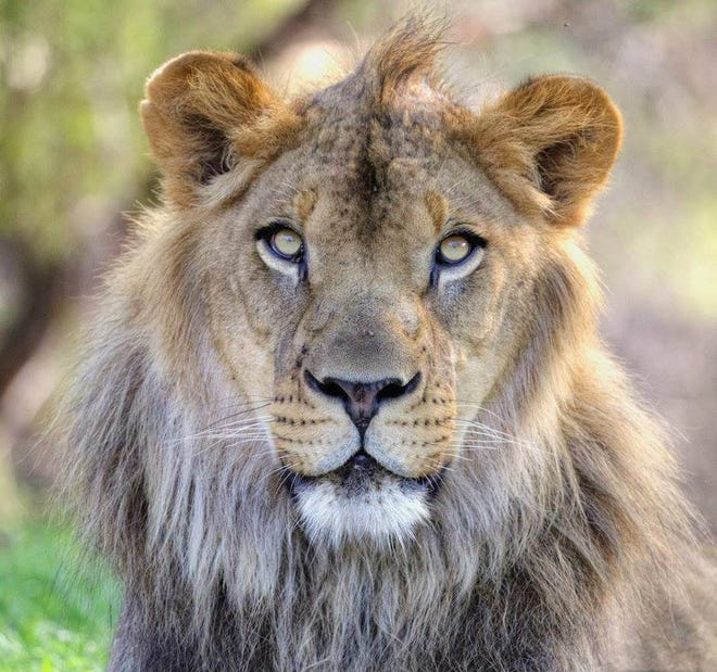 Kitambi, 8-year-old African Lion, died Aug. 21 at the Phoenix Zoo.