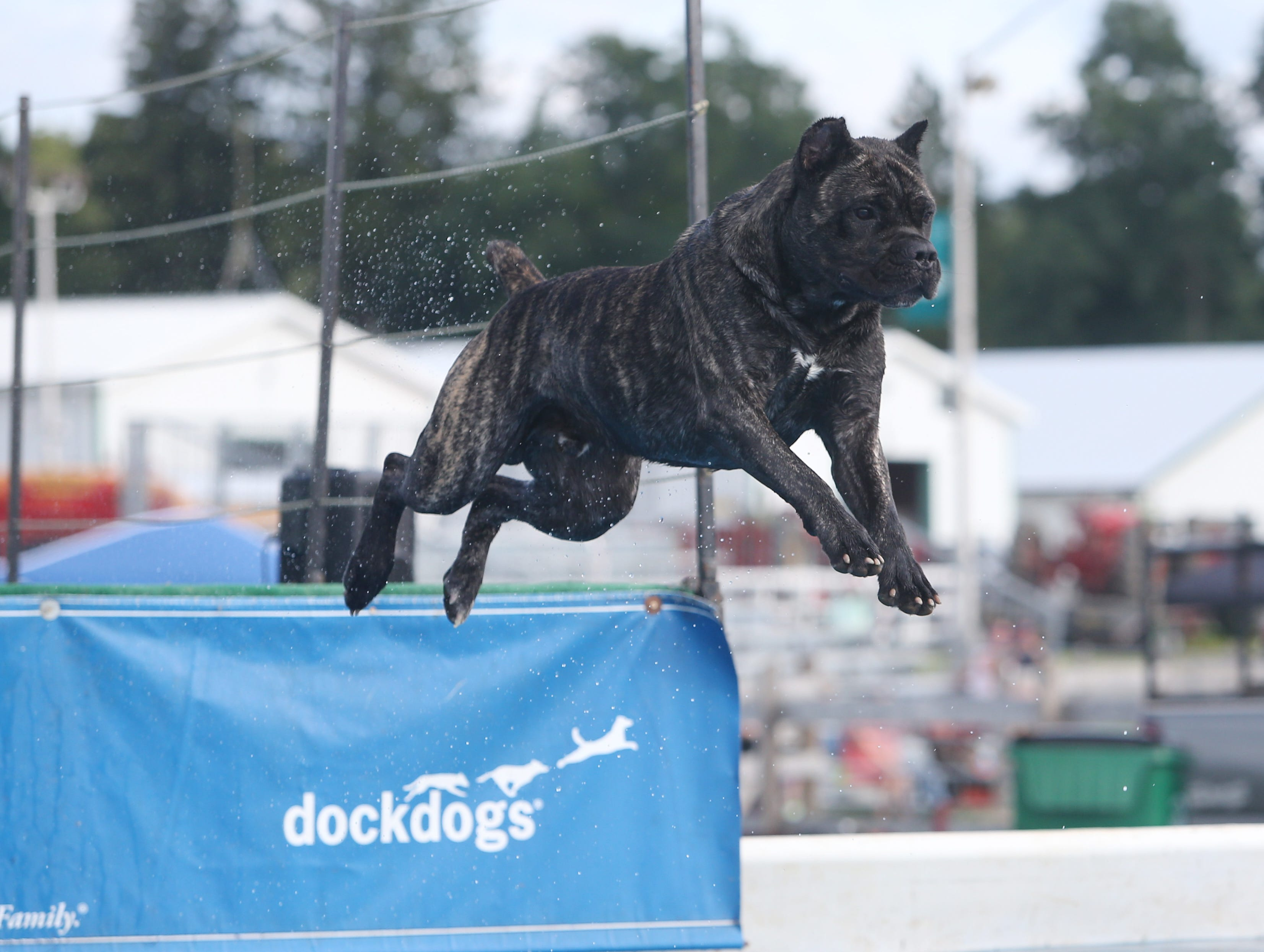 Ledoux makes a leap at Dock Dogs at the Dutchess County Fair on August 21, 2018.
