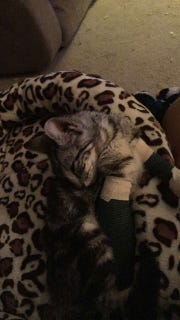 Bullet enjoys a kitten nap at her foster home while she recovers.