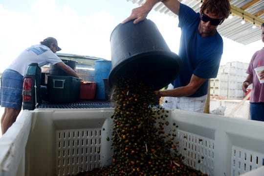 """Scott Connell (center), of Jensen Beach, dumps a bucket of saw palmetto berries into a bin to be weighed at Saw Palmetto of South Florida Thursday, Aug. 23, 2018 in Indiantown. Connell and fellow picker Jimmy Parker (left) harvested the 578 pounds of berries the night before and that morning before heading to the buyer. """"This year's crop is turning out to be pretty poor,"""" Connell said. """"Last year was great. I was bringing in 1,000 pounds a day."""" This year, harvesters are required to get a permit from the Florida Department of Agriculture."""
