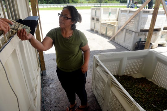 """Yolanda Diego, of Indiantown, receives her money after weighing in more than 200 pounds of saw palmetto berries at Saw Palmetto of South Florida on Thursday, Aug. 23, 2018, in Indiantown. """"The berries are a commodity and the price per pound will fluctuate from day to day,"""" said Michael Baker, owner of Saw Palmetto of South Florida. The price per pound was at $2 at the time when Diego sold her morning harvest."""