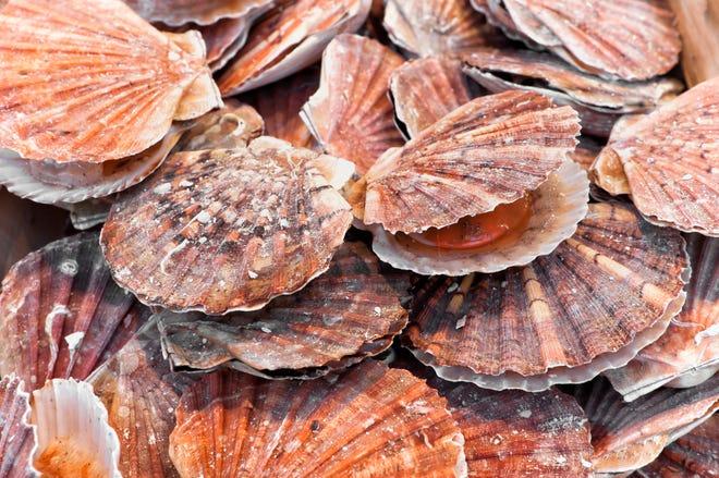 Marine bivalve mollusks of the family Pectinidae.