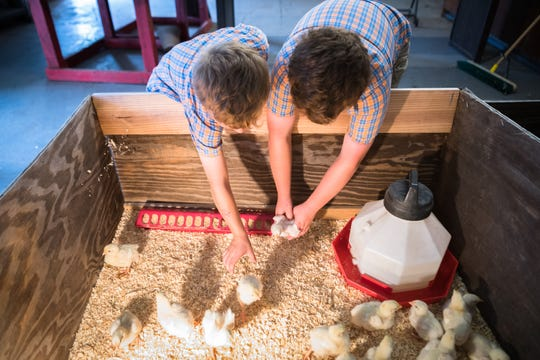 Eli Holt, 6 and Jax Holt, 8, reach into the pen with a group of one-week-old chicks at Erwin high school Friday, August 17, 2018, which they will raise and show in the Youth Market Broiler show at the Mountain State Fair in September.