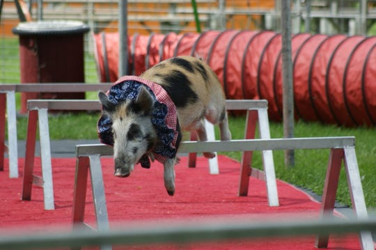 Red the pig jumps over obstacles during the Pork Chop Revue at Sandusky County Fair.