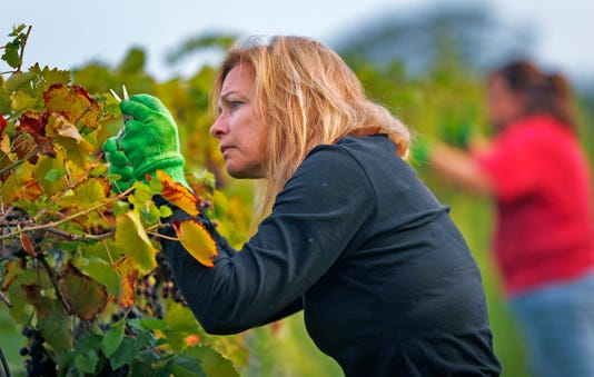 The First Harvest Of The Season At Daniel S Vineyard Was Marquette Grapes