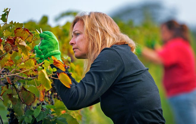 Cindy Schwefel picks grapes at Daniel's Vineyard, Friday, Aug. 24, 2018.  Workers came to the vineyard for the first harvest of the season, picking Marquette grapes.  The McCordsville vineyard grows 8 varieties of grapes on 24 planted acres.  Every gallon of juice produced from the grapes will make about 5 bottles of wine.