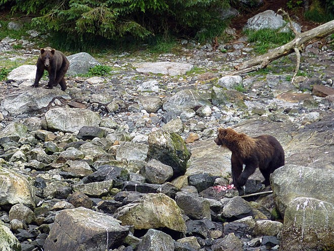 Protecting its breakfast of chum salmon, an adult Alaskan brown bear keeps a wary eye on a potential competitor. Both were feeding near Kasnyku Bay.
