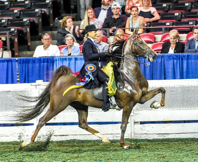 5 GAITED JUNIOR CHAMPIONSHIP winner I Am What I Am (151970M) (WCC, WC) 2014 