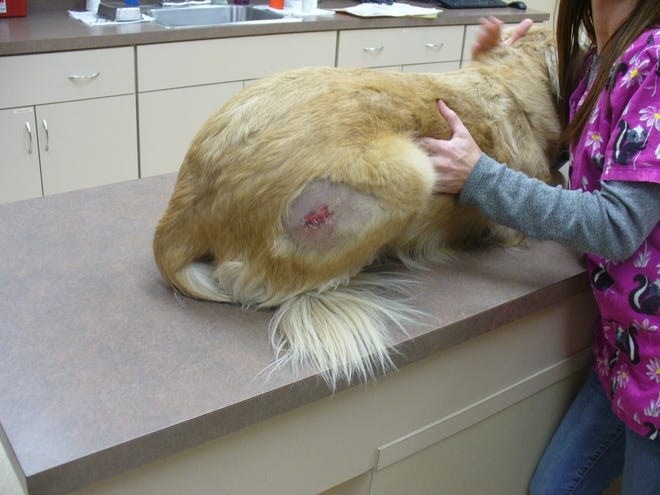 Elizabethtown resident Heather Pereira remains on probation for intentionally cutting her golden retriever with a razor blade in order to get narcotics from a vet. The dog, renamed Alice, has been removed from her care.
