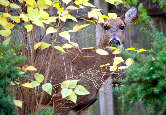 Deer in suburban yards is a common sight in the metro Milwaukee area.