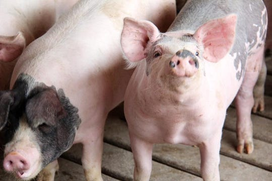These are pigs raised on the Zwagerman farm in Michigan. Nathan Zwagerman worked the farm throughout his childhood, but went to medical school and became a brain surgeon in Milwaukee.