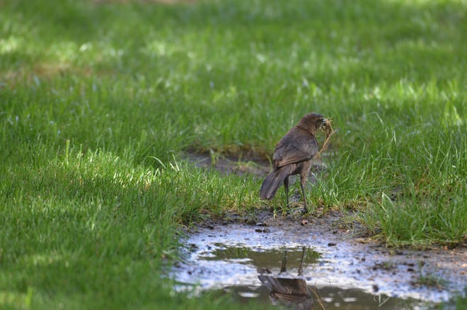 A grackle at Daley Park in Tempe gathers mud.