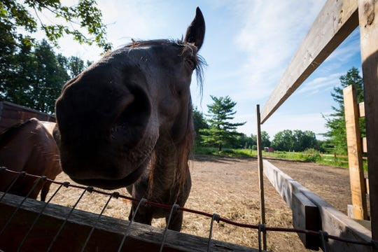 Wicca, an 18-year-old Tennessee walking horse, inspects the camera Friday, Aug. 24, 2018, at Wisdom Ranch in Emmett. Wisdom Counseling LLC hosts an equestrian therapy session for veterans on the farm.