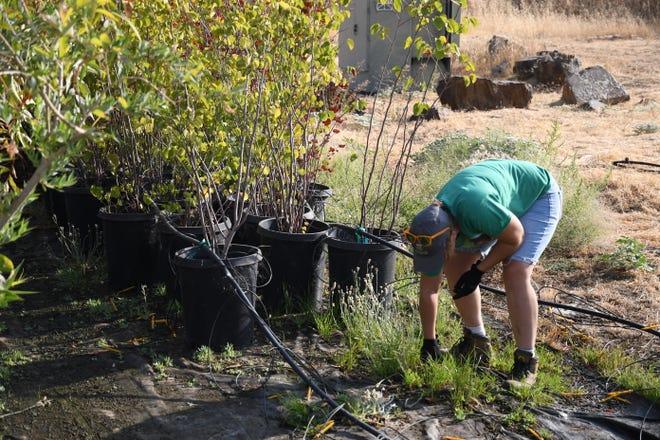 Volunteers weeding the Sequoia Riverlands Trust nursery at Dry Creek Preserve