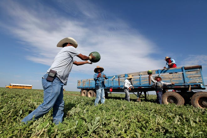 Migrant workers pass freshly picked watermelon down a line to be loaded up in a produce trailer at the Mandujano Brothers Produce's watermelon field on Oct. 3, 2017, in Coyanosa, Texas.