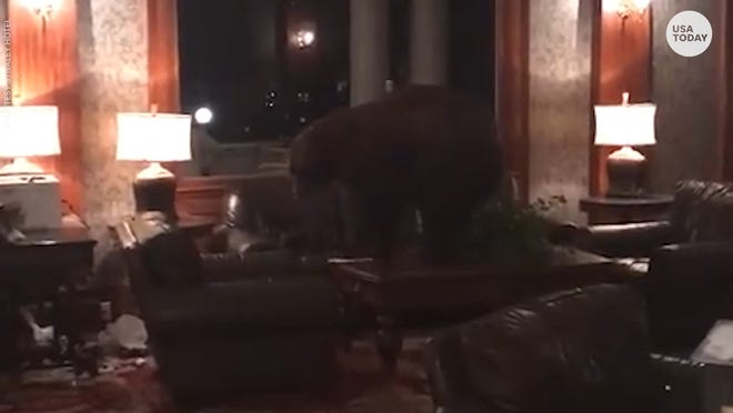 Bear wanders through lobby of 'The Shining' hotel