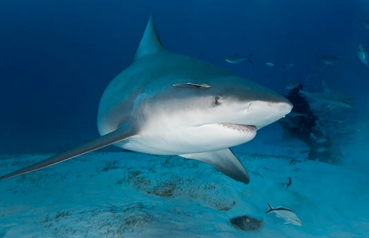 Bull Shark In Deep Water
