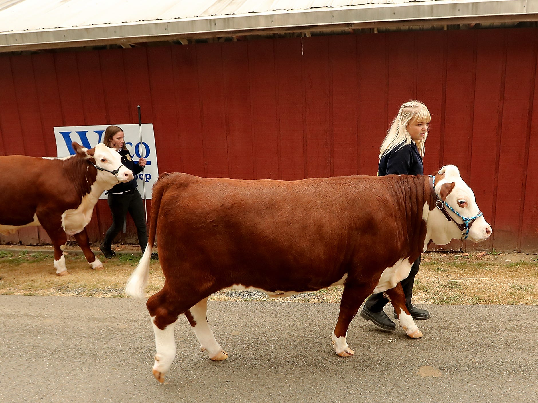 South Kitsap FFA members (left to right) AJ Shipp with steer Tucker and Chelsea Hughson with steer Champ walk back tot he barn after the livestock auction at the Kitsap County Fair & Stampede on Saturday, August 25. 2018.