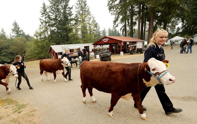 South Kitsap FFA members (left to right) A.J. Shipp with steer Tucker and Chelsea Hughson with steer Champ and Samantha Hughson with steer Harold, walk back tot he barn after the livestock auction at the Kitsap County Fair & Stampede on Saturday, August 25. 2018.