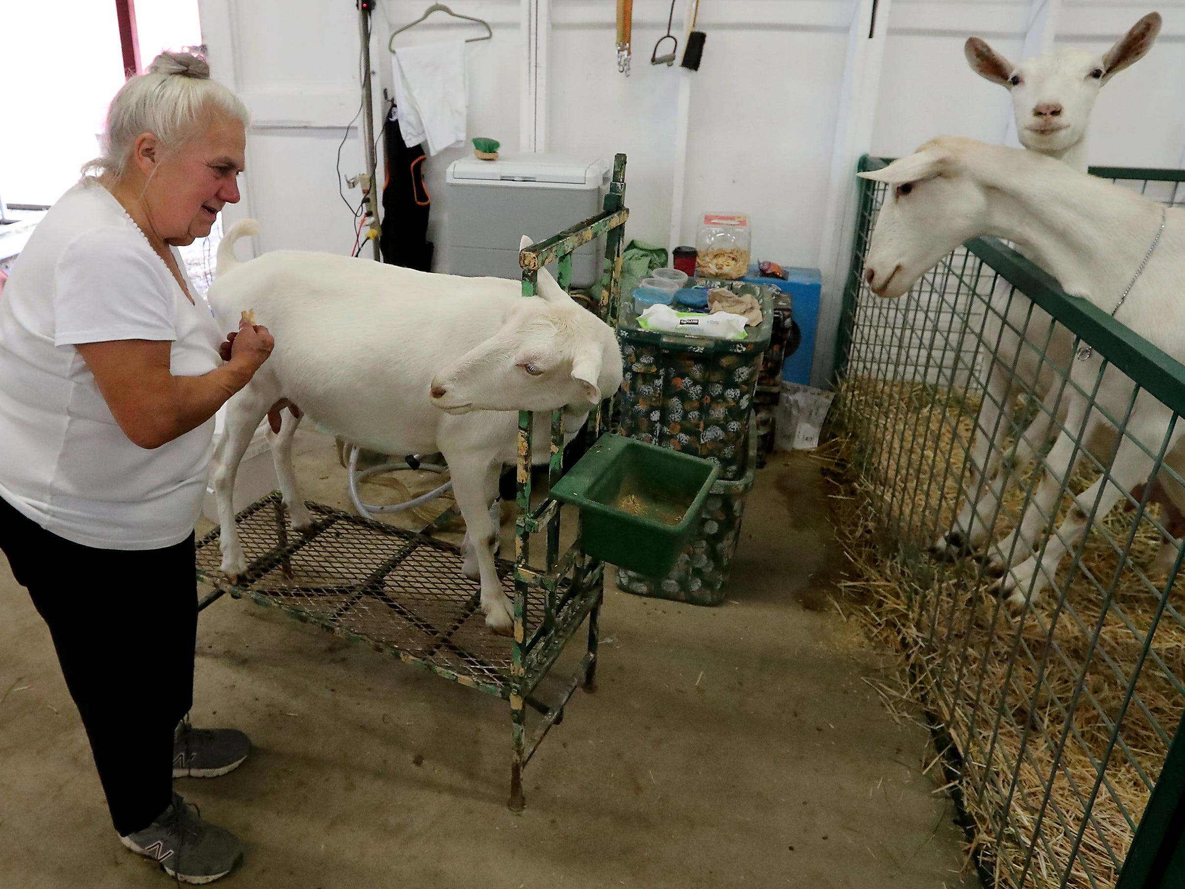 Pat Hendrickson, of Napavine, WA, tries to bribe one of her Saanens Dairy Goats to back off of the milking stand with an animal cracker at the Kitsap County Fair & Stampede on Saturday, August 25. 2018.