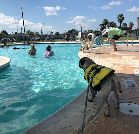 First time at the pool, was scared but I made some friends along the way! #summer #texmexpug #vivacc #pugsofinstagram