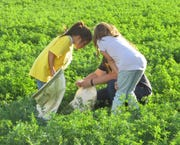 Children acts as entomologists and hunt insects Aug. 23 as part of NMSU Field Day.