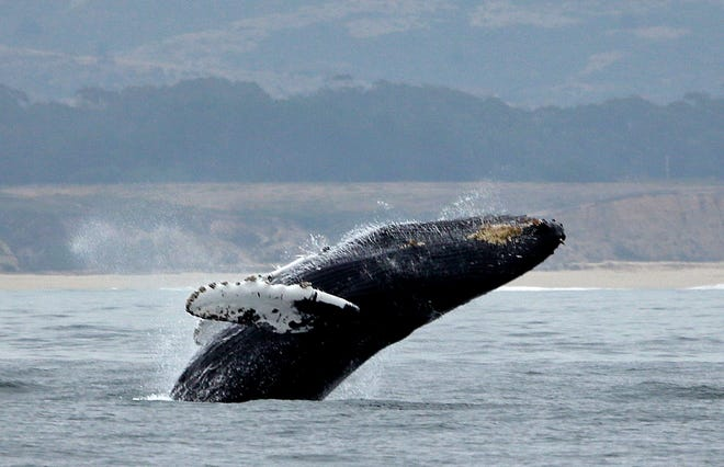 FILE - In this Monday, Aug. 7, 2017, file photo, a humpback whale breeches off Half Moon Bay, Calif. In a settlement with environmental groups, the Trump administration has agreed to designate critical Pacific Ocean habitat for endangered humpback whales. The suit by the Center for Biological Diversity, Turtle Island Restoration Network and Wishtoyo Foundation, a nonprofit that represents Native American tribes, was settled Friday, Aug. 24, 2018, in federal district court in San Francisco.