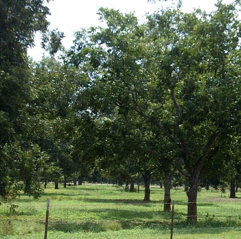 Time to harvest pecans in the Concho Valley