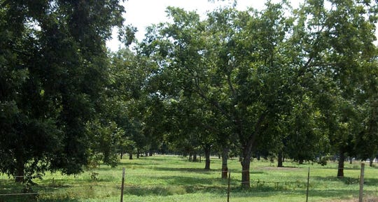 There are a lot of things to keep in mind for pecan tree care in the spring.