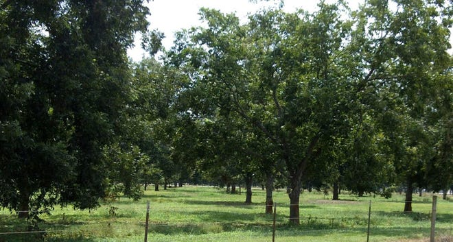 Pecan trees make beautiful shade trees for the landscape and a delicious nut to enjoy year round.