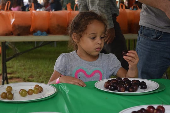 Sophia Parsons, 3, inspects a grape before eating it Saturday at the FAMU Grape Harvest Festival.