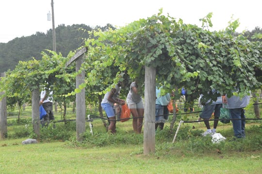 FAMU Grape Harvest Festival attendees weave through the vineyards and pick grapes to take home Saturday. The festival attracted hundreds to the facility on Mahan Drive.