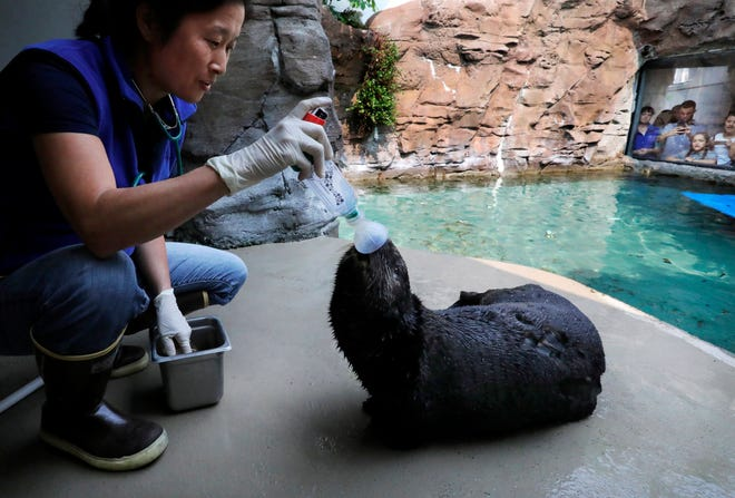 Mishka is the only known sea otter to be diagnosed with asthma and has been taught to use an inhaler at the Seattle Aquarium, here with the help of biologist / animal care specialist Caroline Hempstead, in Seattle, Wash., Aug. 22, 2018. The training is reinforced with almost-daily placement of the inhaler but the otter gets medication in it as needed, about twice a week. (Alan Berner/The Seattle Times via AP)