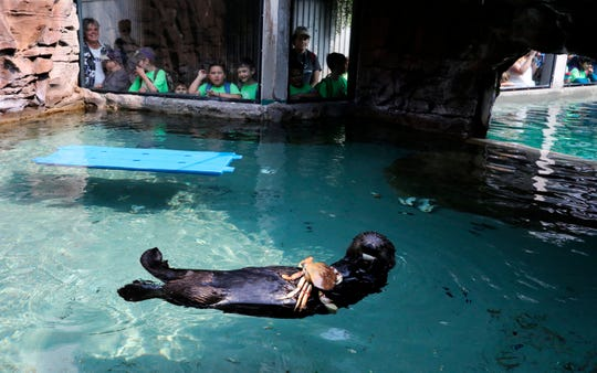 Mishka happily ends her training on an asthma inhaler Wednesday with fresh seafood, in Seattle, Wash., Aug. 22, 2018. (Alan Berner/The Seattle Times via AP)