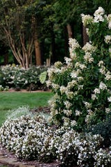 There are abundant plant options for evening gardens. Here are a couple of examples from the White Garden. The park offers tremendous resources to gardeners, with plant identifiers and helpful information from volunteers in the Botanical Center.