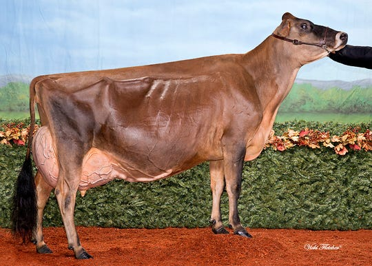 MilkSource Genetic's Musqie Iatola Martha, became the youngest Jersey in history to achieve the 97 score.