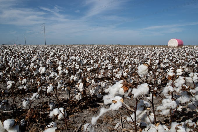 Cotton in a field in San Patricio County owned by Jon Whatley on Thursday, Aug.16, 2018.
