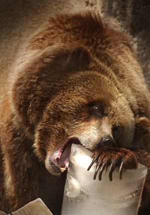 Ronnie, a female grizzly bear at the Milwaukee County Zoo, dines on a block of ice in 2002, one year after she arrived from Yellowstone National Park.