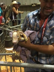 A baby pig of the litter born at a new birthing barn at the Wilson County Fair that recently concluded.