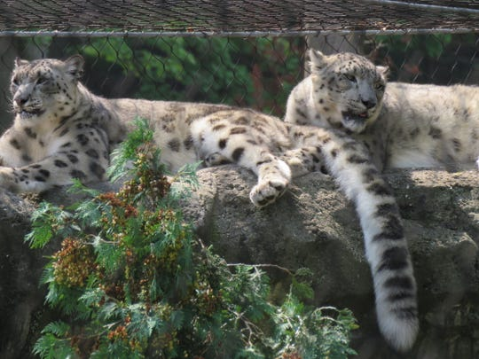 Two of the leopards at Essex County Turtle Back Zoo.