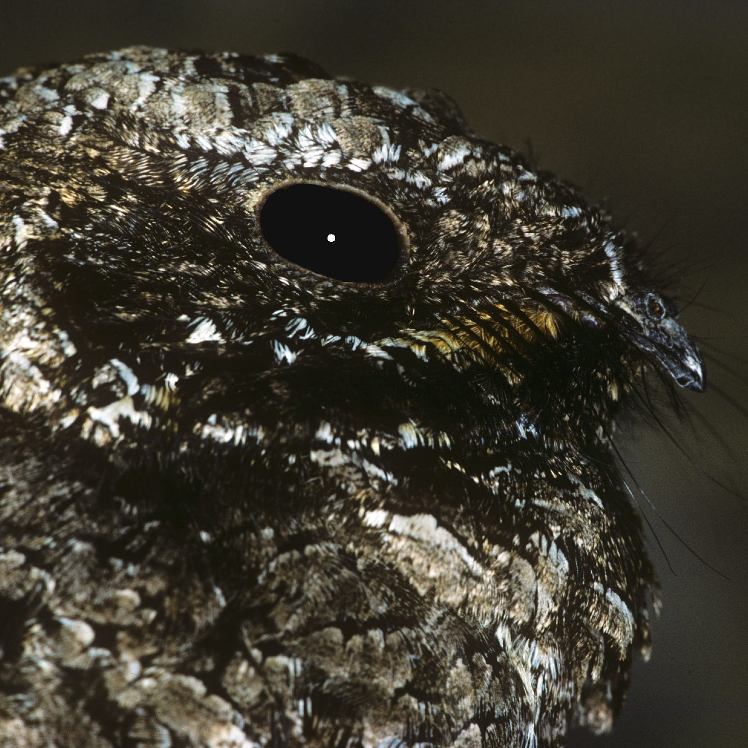 The only bird in the world known to hibernate does so right here in the Coachella Valley
