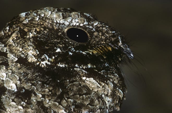 Close-up of a poor-will, the only bird in the world known to hibernate